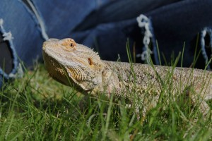 bearded-dragon-742606_1920
