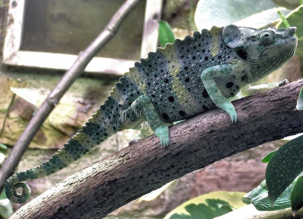 mellers-chameleon-877350_1280