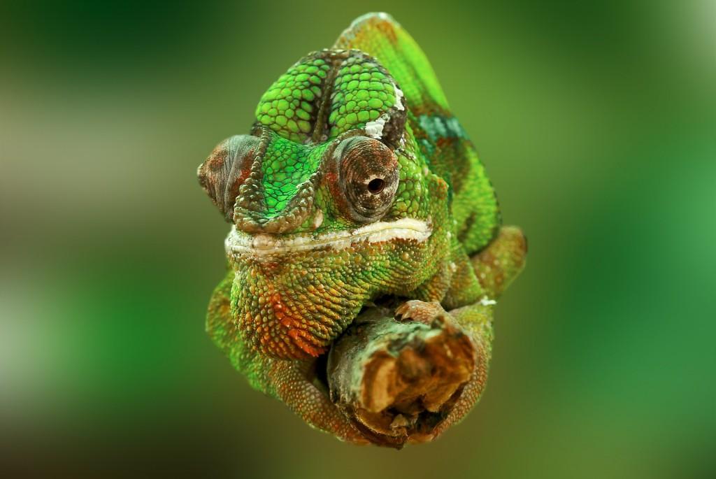chameleon-540655_1920