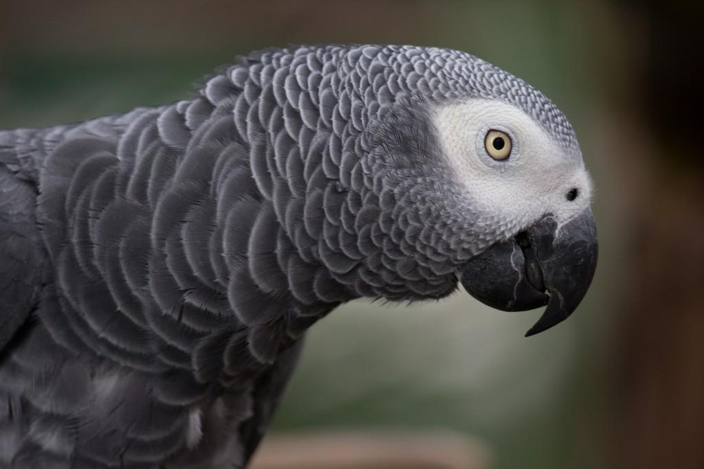 grey-parrot-1140551_1920