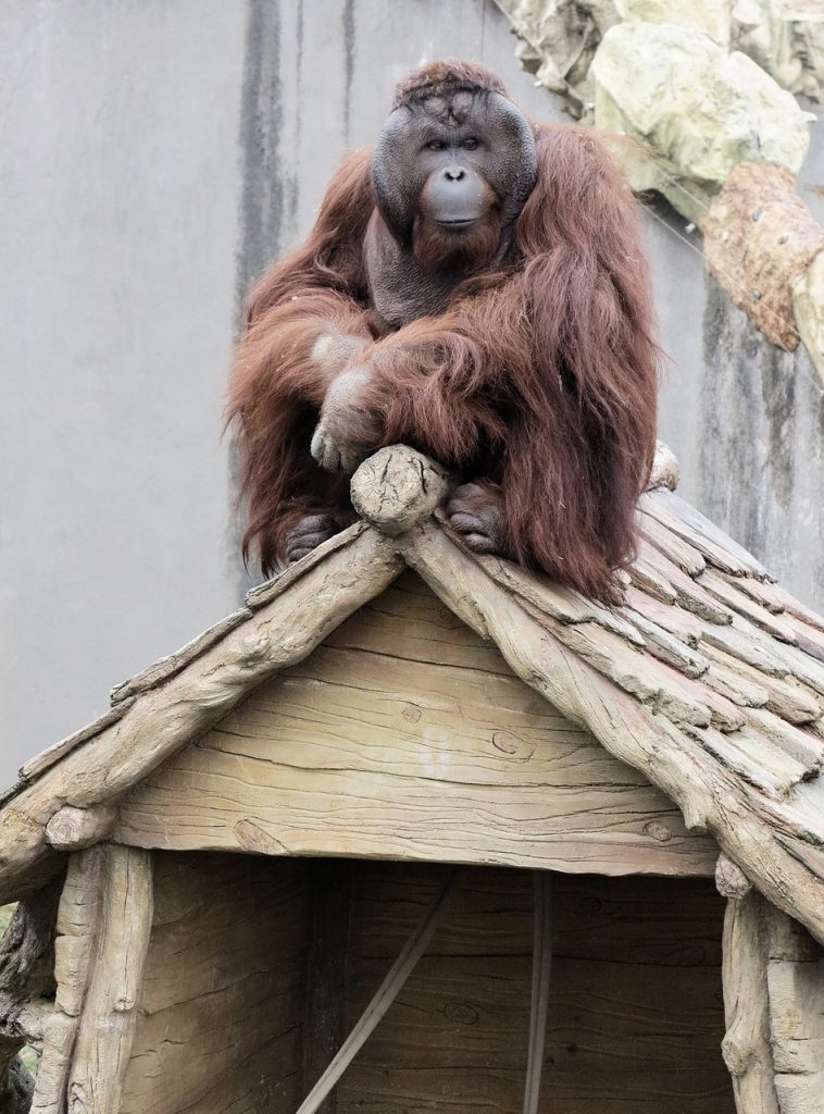 orangutan-1564420_1280